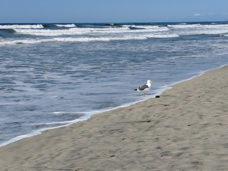A lone gull dips its feet in the cold waters of the Torrey Pines beach.
