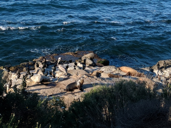 A lazy sea lion finally makes its way up the rocks to rest with some neighborly pelicans.
